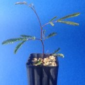 Silver Wattle four months seedling image.