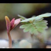 Silver Wattle germination seedling image.