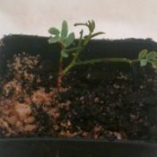 Spreading Wattle germination seedling image.