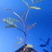 Lightwood four months seedling image.