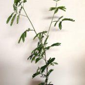 Lightwood six months seedling image.