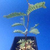 Black Wattle four months seedling image.