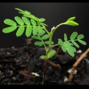 Blackwood two month seedling image.