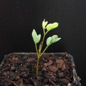 Myrtle Wattle germination seedling image.