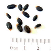 Seedling-Acacia-hakeoides-seed-6.jpg