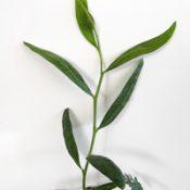 Cinnamon Wattle two month seedling image.
