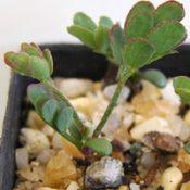 Cinnamon Wattle germination seedling image.