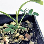 Mountain Hickory Wattle two month seedling image.