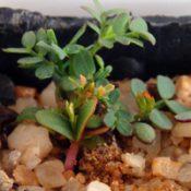 Spike Wattle germination seedling image.