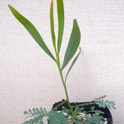 A. provincialisv (previously known as Wirilda) four months seedling image.