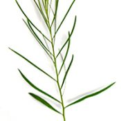 Red-stem Wattle four months seedling image.