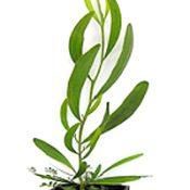 Hop Wattle four months seedling image.