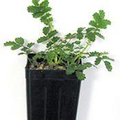 Bidgee-widgee two month seedling image.