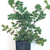 Bidgee-widgee four months seedling image.