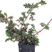 Bidgee-widgee six months seedling image.