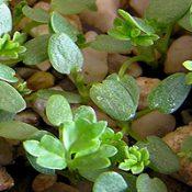 Bidgee-widgee germination seedling image.