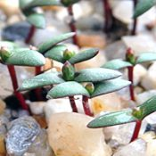 Slaty Sheoak germination seedling image.