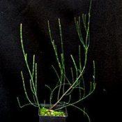 Dwarf Sheoak (previously known as Casuarina pusilla) six months seedling image.