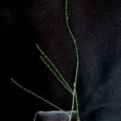 Scrub She-oak, Swamp She-oak (now known as Allocasuarina paludosa) six months seedling image.