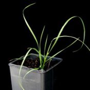 Rytidosperma racemosum (previously known as  Slender Wallaby-grass) two month seedling image.