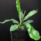 Silver Banksia four months seedling image.