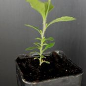 Common Apple-berry, Hairy Apple-berry, Apple Dumpling two month seedling image.