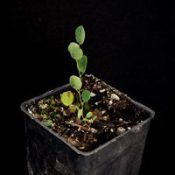 Creeping Bossiaea two month seedling image.
