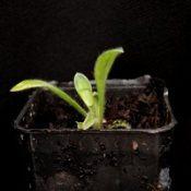 Blue Pincushion two month seedling image.