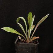 Blue Pincushion four months seedling image.