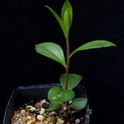 Crimson Bottlebrush four months seedling image.