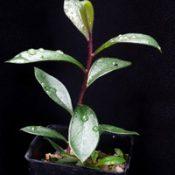 Scarlet Bottlebrush (previously known as C. macropunctatus) four months seedling image.