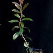 Scarlet Bottlebrush (previously known as C. macropunctatus) six months seedling image.