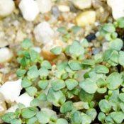 Scarlet Bottlebrush (previously known as C. macropunctatus) germination seedling image.