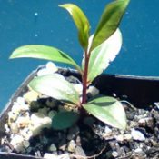 C. sieberi (previously known as River Bottlebrush) two month seedling image.
