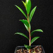 C. sieberi (previously known as River Bottlebrush) four months seedling image.