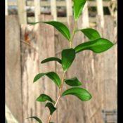 C. sieberi (previously known as River Bottlebrush) six months seedling image.