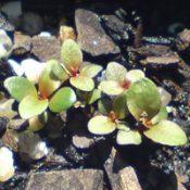 River Bottlebrush (previous known as C. paludosus) germination seedling image.