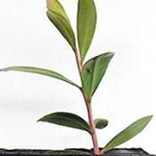 Lemon Bottlebrush two month seedling image.
