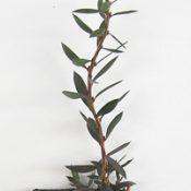Alpine Bottlebrush six months seedling image.