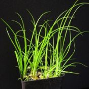 Tall Sedge four months seedling image.