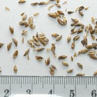 Seedling-Carex-appressa-Tall-Sedge-seed-6.jpg