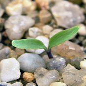 Mountain Clematis,  Austral Clematis, Old Man's Beard germination seedling image.