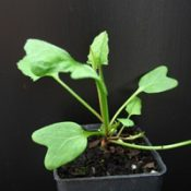 Pink Bindweed four months seedling image.