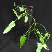 Pink Bindweed six months seedling image.