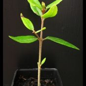 Rock Correa two month seedling image.