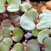 Lemon-Scented Gum germination seedling image.