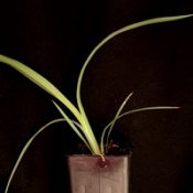Black Anther Flax-lily, Spreading Flax-lily two month seedling image.