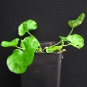 Kidney Weed two month seedling image.