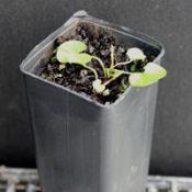 Kidney Weed germination seedling image.