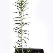 Showy Parrot-pea four months seedling image.